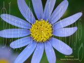 Blue Daisy by Martie Hevia
