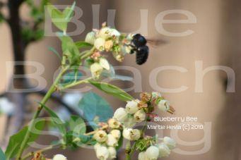 Blueberry Bee 2 - Martie Hevia (c) 2010